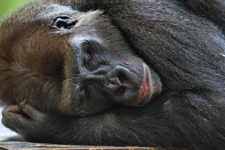 gorilos varpos