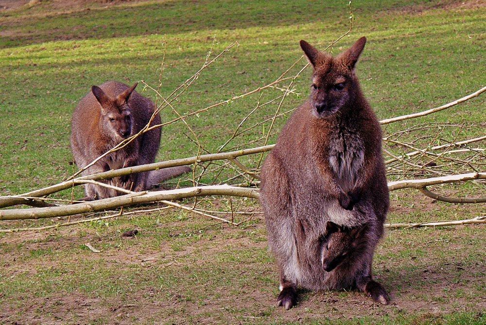 kengūros varpos