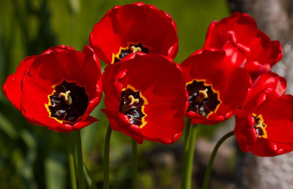Tulpes ziedo sandara