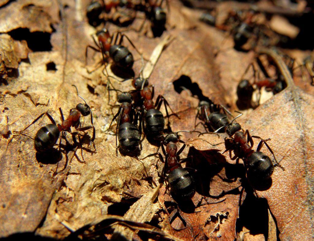 skruzdėlės ant varpos viagra erekcijai