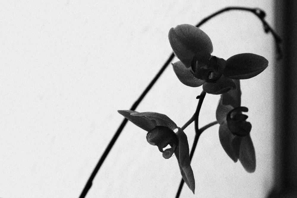 Juoda orchideja gele