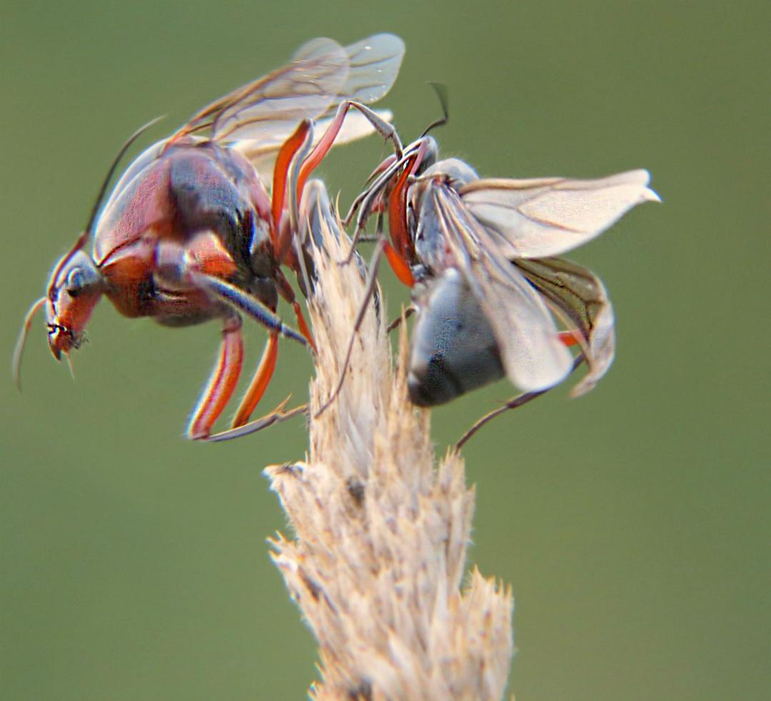 skruzdėlės ant varpos varpos žiedas kažkas
