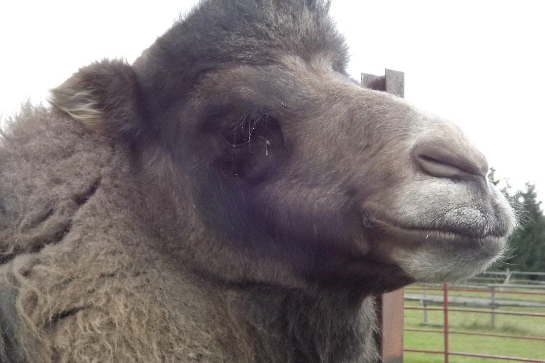 kupranugario varpa nevisiška erekcija ryte